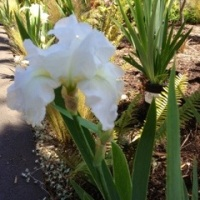 Adding Iris immortality Everblooming Iris