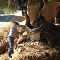 Transplanting a Heritage Olive