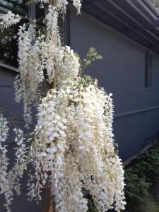 white-wisteria